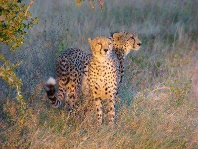 Cheetah-Two-Brothers.jpg