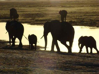 Chobe-Elephants.jpg