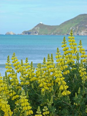 Lupins-and-Lighthouse1.jpg