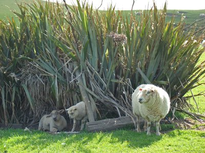 NZ5-Sheep-Everywhere.jpg