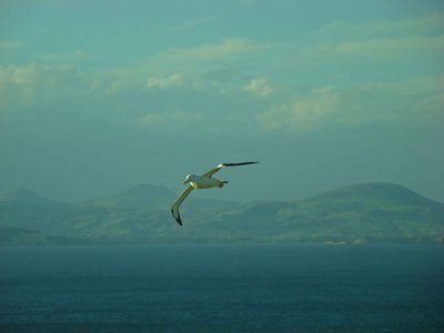 Royal-Alba..-Flying.jpg
