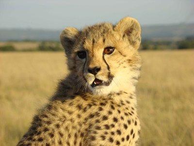 cheetah-cub-face.jpg