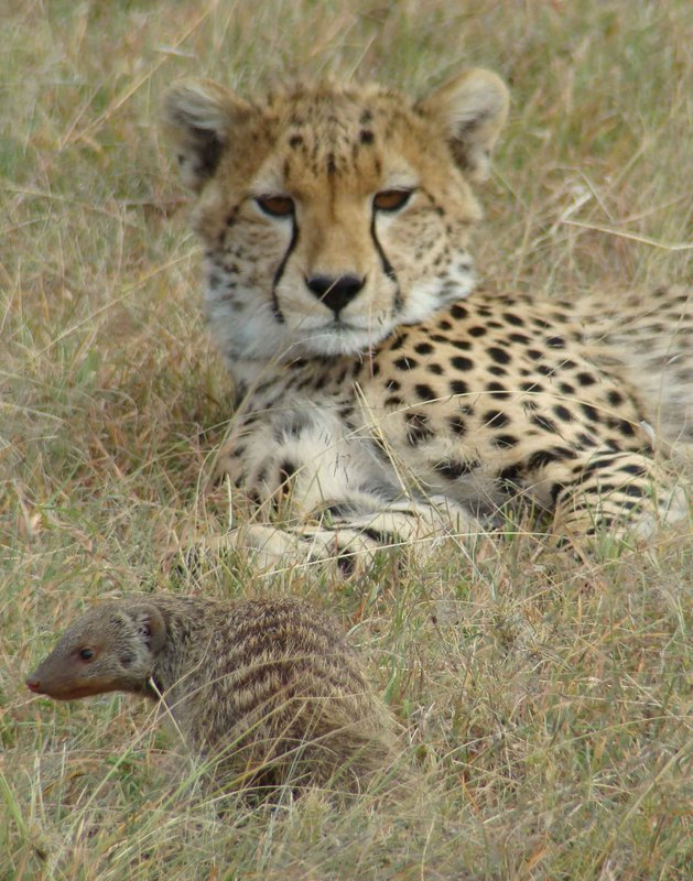 cheetah-football