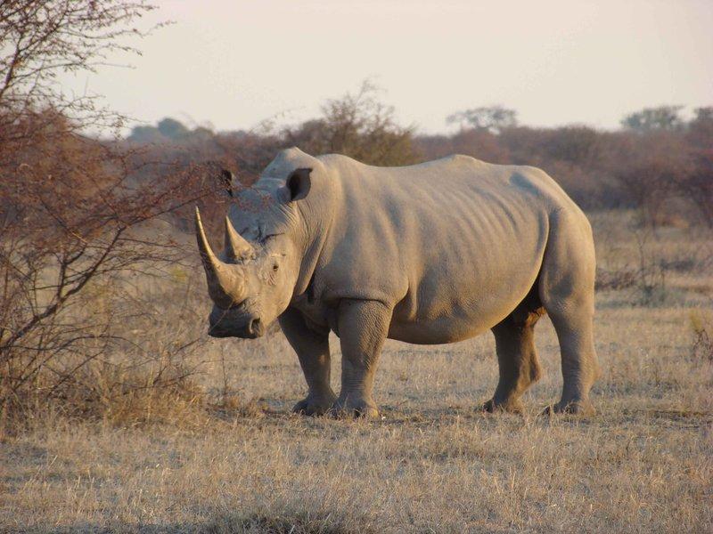 Rhino at Khama Sanctuary Botswana