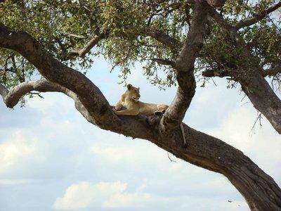 lioness-in-tree.jpg
