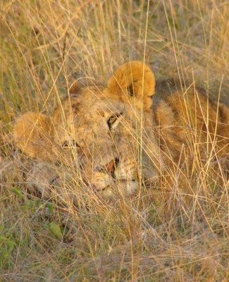 lionness-snooze.jpg