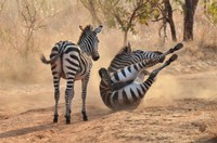 Tarangire: A zebra rubbing its back in the dirt to get rid of flies and ticks