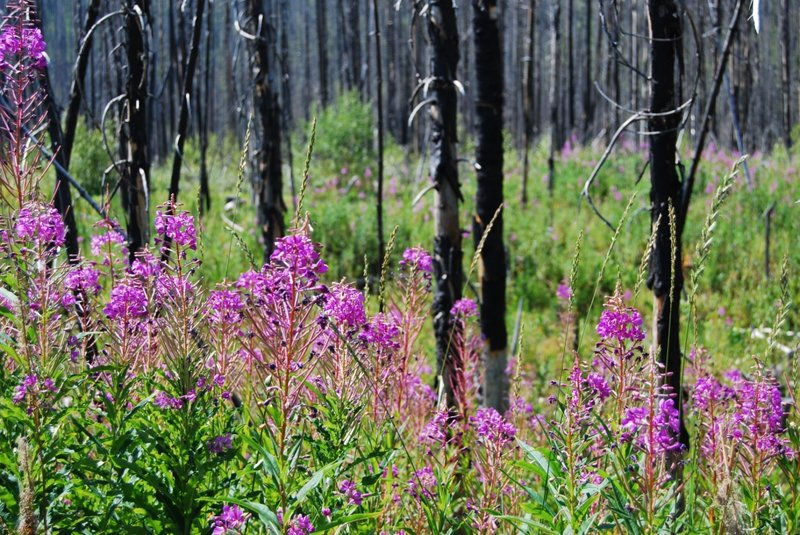 Fireweed in Burn Area