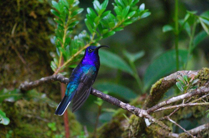 Violet Sabrewing hummingbird