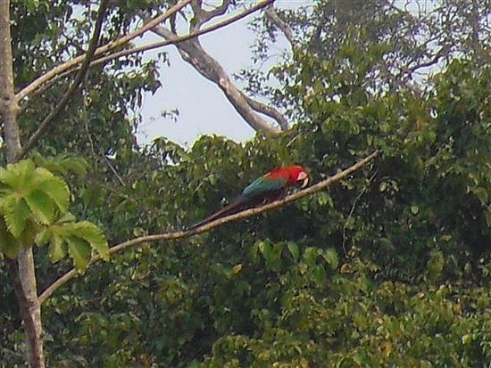 Parrot (not deceased)