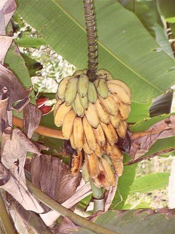 Wild Bananas!