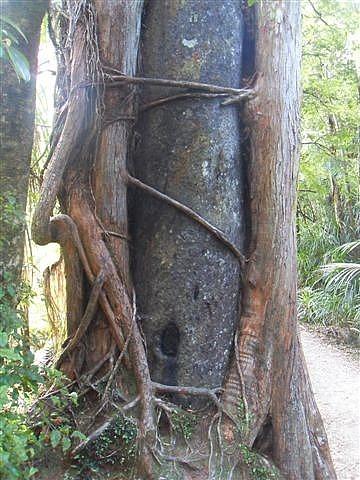 Tree Hugging, Punakaiki