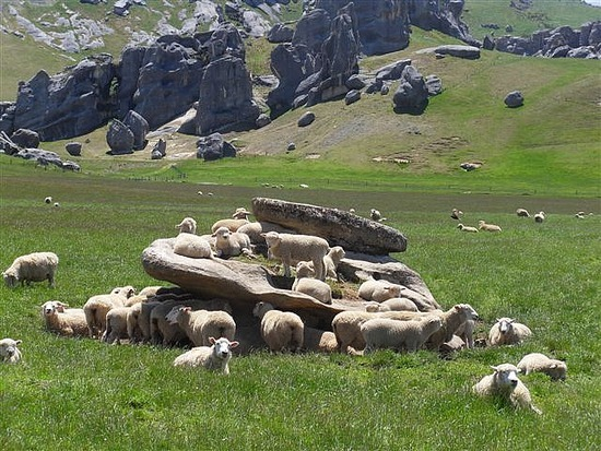 Feeling Sheepish - Arthur's Pass