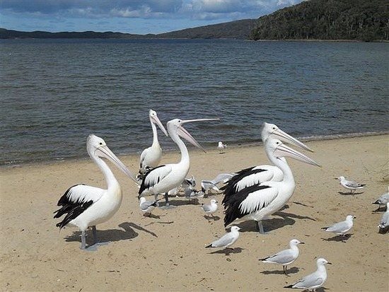 Pelicans Nornalup