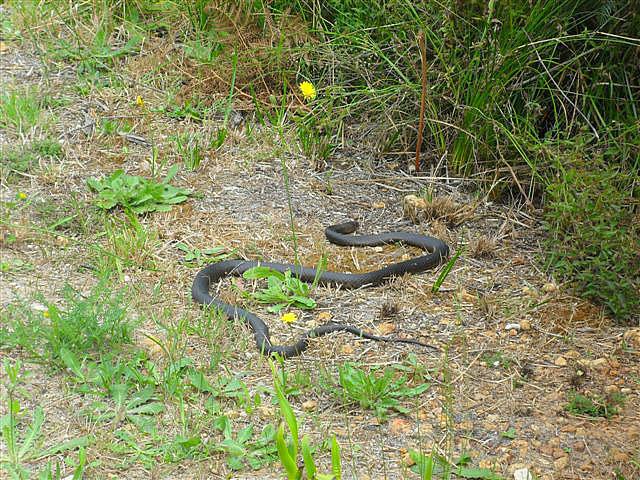 Deadly tiger snake