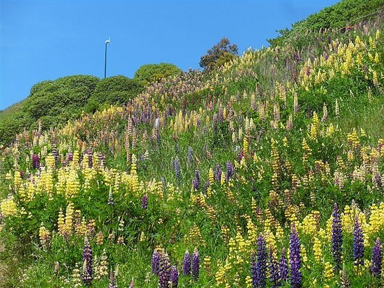 Wild Lupins, Otago Peninsular