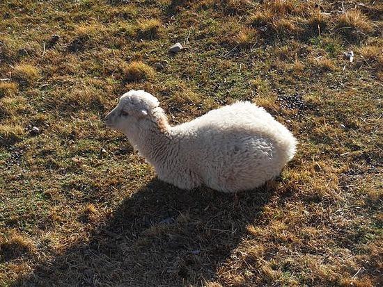 Baby lamb