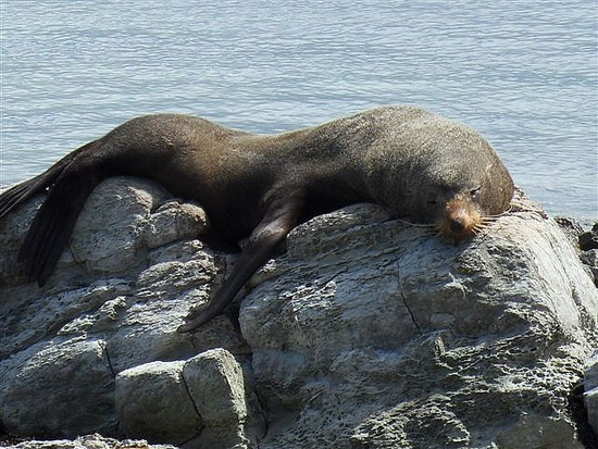 Lazy Seal, Kaikoura