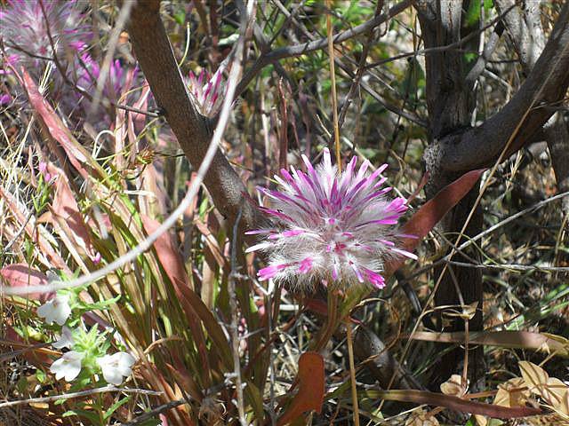 Wildflower - Lesmurdie Falls National Park
