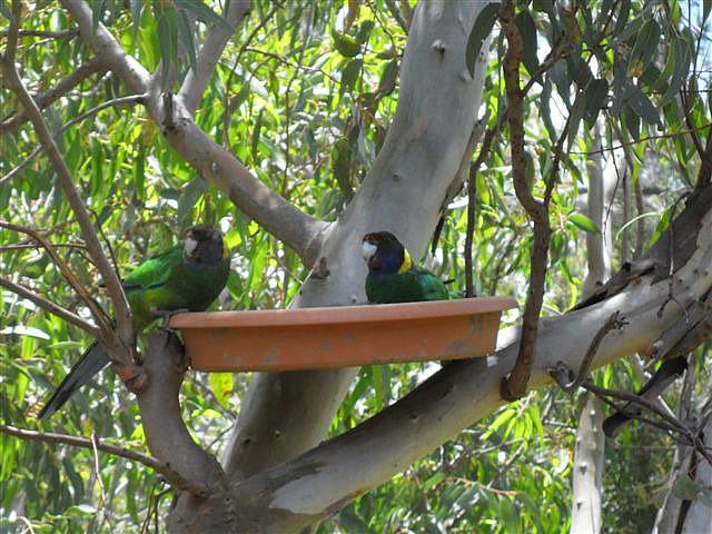 """Twenty Eights"" Australian Ring Neck Parrots"