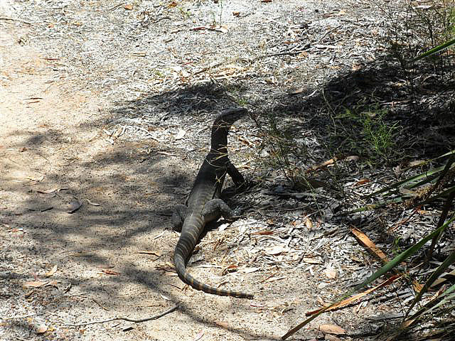 Baby Monitor Lizard, Denmark WA