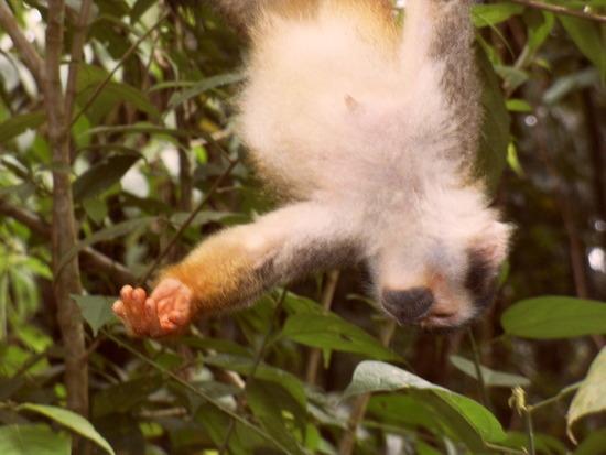 Upside down monkey