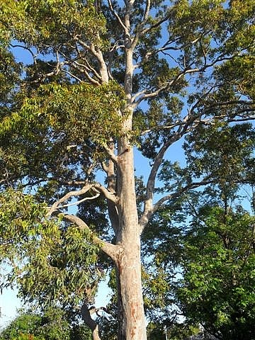 Our lovely gum tree
