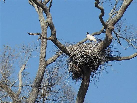 Stork Nest Pantanal