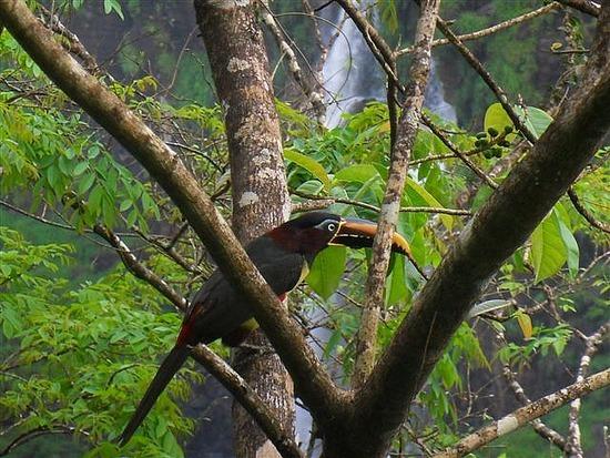 Toucan Iguacu