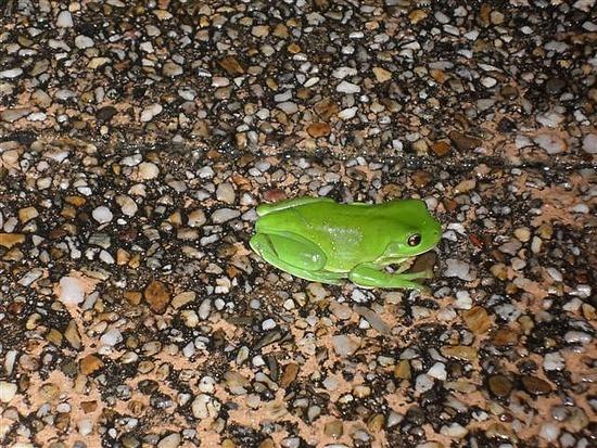 Green Frog Brisbane