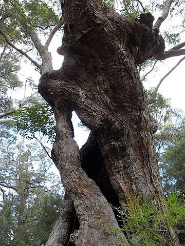 Tingle (Tangle) Tree