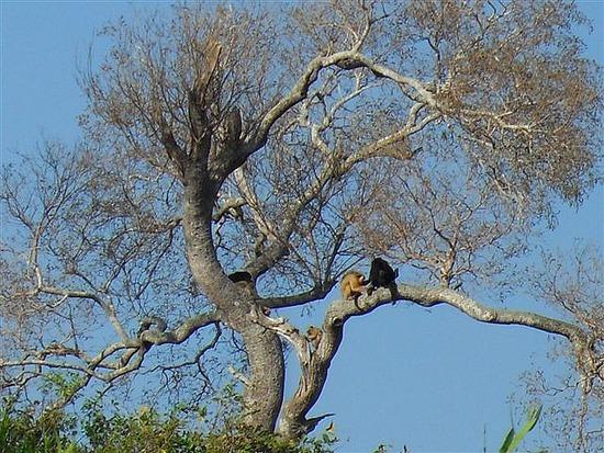 Monkeys in the Pantanal