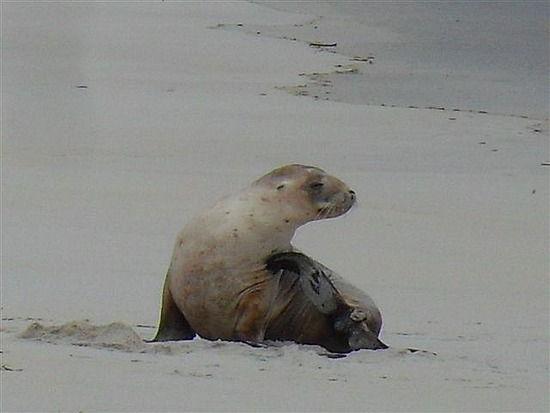 Sea Lion, Sandfly Beach