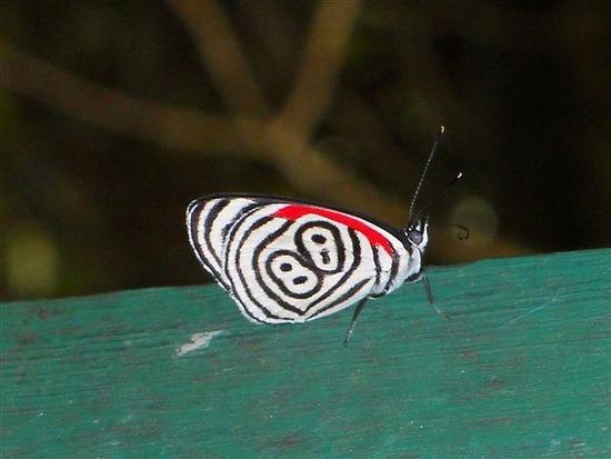 88 Butterfly Iguacu