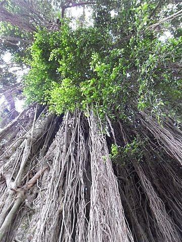 Huge Banyan Tree