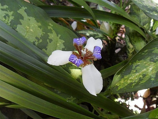 Orchid, Spice Garden