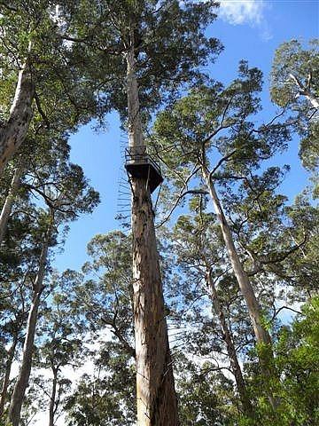 Tingle Tree Climb