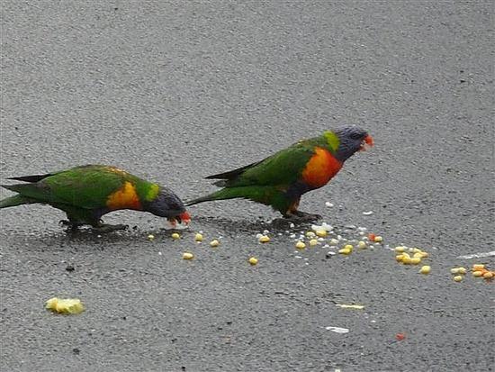 Parakeets Nimbin