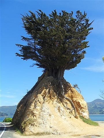 Weird Tree, Otago Peninsular, Dunedin