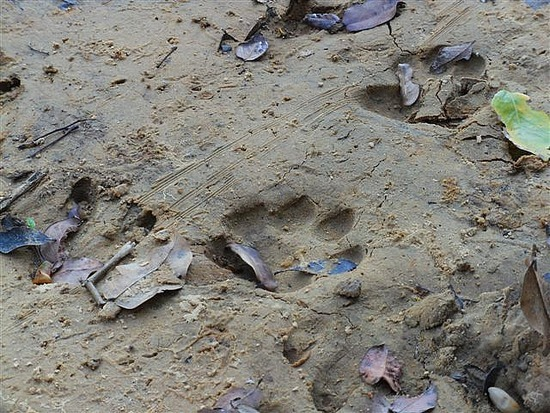 Jaguar Tracks Pantanal