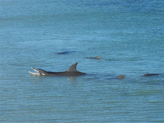 Dolphin Feeding Monkey Mia