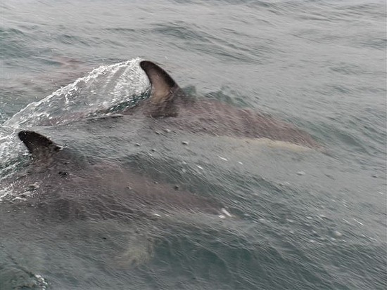 Dusky Dolphins, Kaikoura