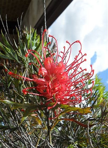 Our grevillea bush